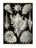 Ernst Haeckel - Gastropods - Reprodüksiyon