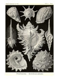 Gastropods Prints by Ernst Haeckel