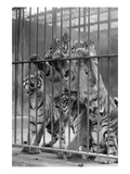 Tiger Cubs Seek Freedom from Zoo Cage Bilder