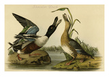 Shoveler Duck Prints by John James Audubon