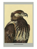 African Sea Eagle Prints by Louis Agassiz Fuertes