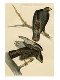 Harlan's Buzzard Prints by John James Audubon