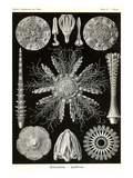 Echinoderms Posters by Ernst Haeckel