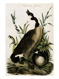 Canada Goose Prints by John James Audubon