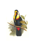 Inca or White Throated Toucan Affiches par John Gould