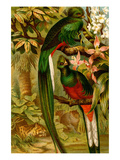 Quetzal Prints by F.W. Kuhnert