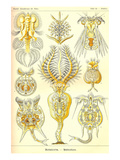 Rotatoria, Rotifera Worms Prints by Ernst Haeckel
