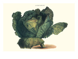 Cabbage Photo by Philippe-Victoire Leveque de Vilmorin