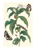 Ginger Plant with a Giant Sugar Cane Borer Print by Maria Sibylla Merian