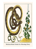 Mexican Boine Snake and a Morning Glory Prints by Albertus Seba