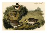 Shore Lark Prints by John James Audubon