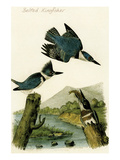Belted Kingfisher Premium Giclee Print by John James Audubon