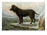 Irish Water Spaniels Print by Vero Shaw