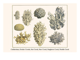 Cnidarians, Ocular Corals, Sea Coral, Star Coral, Staghorn Coral, Needle Coral Art by Albertus Seba