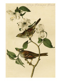 White Throated Finch Prints by John James Audubon