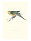 Stanley Parakeet Young Male - Platycercus Icterotis Kunstdruck von Edward Lear