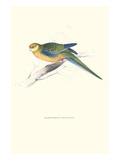 Stanley Parakeet Young Male - Platycercus Icterotis Poster by Edward Lear
