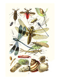 Water Scorpion, Water Boatman, Dragonfly Print by James Sowerby