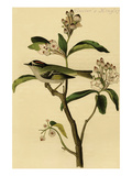 Cuvier's Kinglet Print by John James Audubon