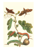 Fig Tree with Fig Sphinx Art by Maria Sibylla Merian