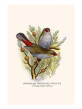 Australian Fire Tailed Finch Prints by F.w. Frohawk