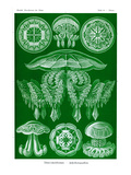 Jelly Fish Prints by Ernst Haeckel