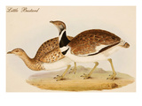 Little Bustard Prints by John Gould
