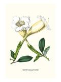 Showy Chalice Vine Kunstdrucke von Louis Van Houtte