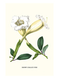 Showy Chalice Vine Prints by Louis Van Houtte