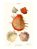 Thorny Oyster Shell Prints by John Mawe