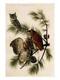Little Screech Owl Print by John James Audubon