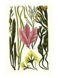 Seaweeds Grasswrack, Carrageen Moss, Bladder-Wrack Plakater af James Sowerby