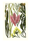 Seaweeds Grasswrack, Carrageen Moss, Bladder-Wrack Prints by James Sowerby