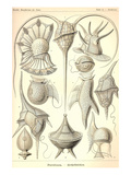 Peridinea Poster by Ernst Haeckel