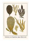 Sedentary Sea Organisms, Algae, Black Coral Prints by Albertus Seba