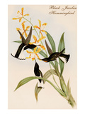 Black Jacobin Hummingbird Posters by John Gould