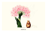 Amaryllis Prints by Louis Van Houtte