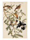 Rose Breasted Grosbeak Poster by John James Audubon