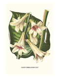 Giant Himalayan Lily Poster von Louis Van Houtte