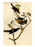 Rusty Crow Blackbird Posters by John James Audubon