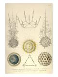 Ethmosphaera Siphonophora, Cyrtidosphaera Reticula, Arachnosphaera, A. Oligacantha, etc. Planscher av Ernst Haeckel