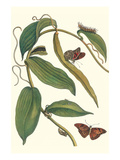 Flat-Leaved Vanila Plant with a Gulf Fritillary Prints by Maria Sibylla Merian