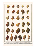Tritons, False Fususes, Neptune Whelk, Ridged African Tritons,Drills, Rock Shells, etc. Print by Albertus Seba