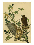 Broad Winged Buzzard Prints by John James Audubon