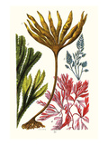 Seaweeds Prints by James Sowerby