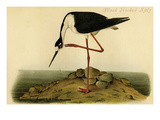 Black-necked Stilt Premium Giclee Print by John James Audubon