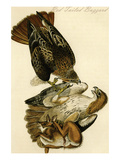 Red Tailed Buzzard Posters by John James Audubon