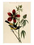 Common Troupial Prints by John James Audubon