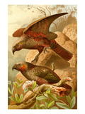 Kea Parrots Posters by F.W. Kuhnert