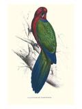 Tabuan Parakeet - Prosapeia Tabuensis Kunstdrucke von Edward Lear